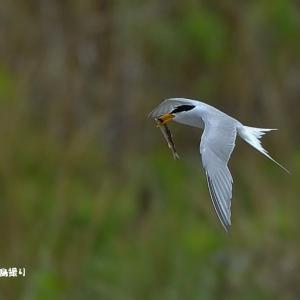今日の野鳥・・・コアジサシ【その①】・・・動きが早い。。