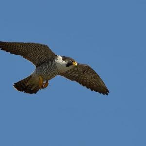 今日の野鳥 ・・ハヤブサ【その①】・・青空を飛ぶ  。。