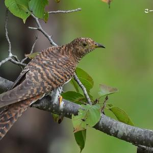 今日の野鳥 ・・ツツドリ(赤色型)①・・低い枝に  。。