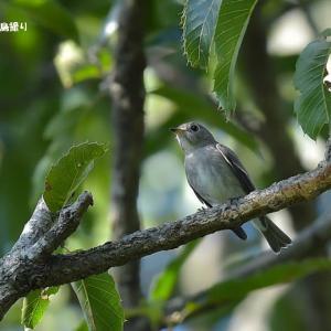 今日の野鳥 ・・ コサメビタキ ・・今年も。。