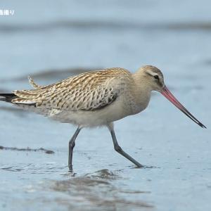 今日の野鳥 ・・ オオソリハシシギ ・・海には。。