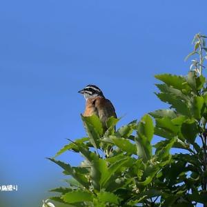 今日の野鳥 ・・・ ホオジロ ・・・ 天辺で   。。