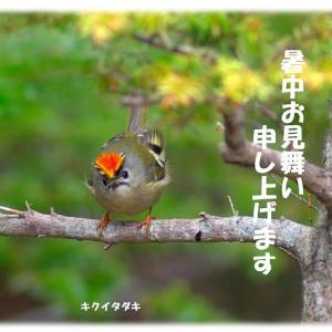 今日の野鳥 ・・・『  暑中お見舞い申し上げます  』・・・ キクイタダキ。。