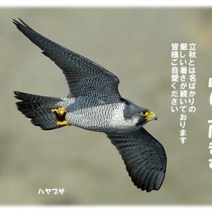 今日の野鳥 ・・・『  残暑お見舞い申し上げます  』・・・ ハヤブサ。。