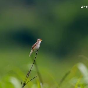 今日の野鳥 ・・・ コヨシキリ ・・・広大な草原で  【その①】  。。