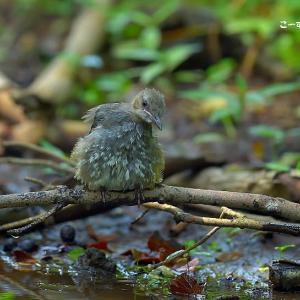 今日の野鳥 ・・・ ヒヨドリの幼鳥 ・・・ 水溜りに下りた  。。