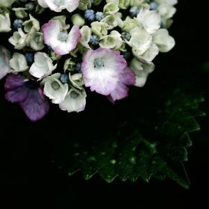 土砂降りの夕暮れに紫陽花が目に入る 20200614
