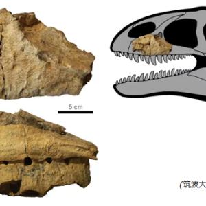 約9000万年前 ティラノサウルスの祖先の化石発見!
