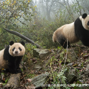 パンダが絶滅危惧種から外れる?まだ予断は許されない状況