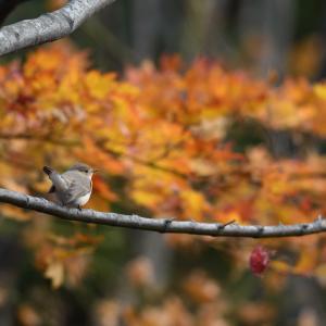 秋色ニシオジロビタキ