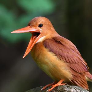 アカショウビンは舌も赤い