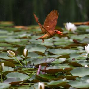 スイレンの池のアカショウビン
