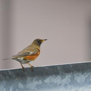 車輪梅の実に集まる鳥たち(アカハラ)