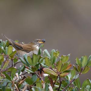 車輪梅の実に集まる鳥たち(シロハラ)