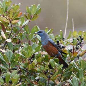 車輪梅の実に集まる鳥たち(イソヒヨドリ)