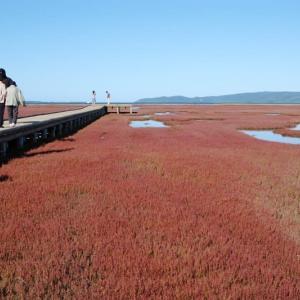 網走市卯原内のサンゴ草群落 2012年9月