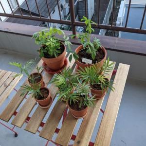 ひよせの観葉植物日記②