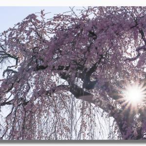 倉吉市 極楽寺のしだれ桜