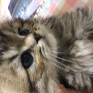 チンチラの子猫ちゃん可愛くなりました🤗