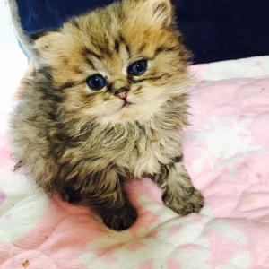 2月〜3月〜4月生まれのチンチラの子猫ちゃんで〜す😸