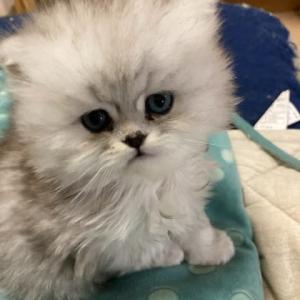 シルバーの子猫ちゃん可愛いくなりました🧸