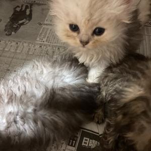 5月生まれの子猫ちゃん可愛くなってきました🐱