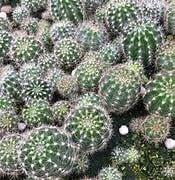 8月1日 サボテンcactus、ユーカリeucalyptus