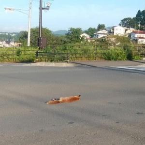 事故死のキツネ