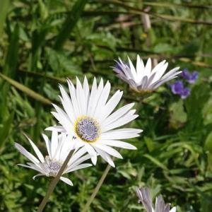 アークトチスグランディス ~ モネの庭から(その425)