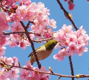 【お花見2021】春の訪れ♪河津桜とメジロ&伸びた桜の枝をいただきました