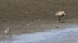 鳥「ソリハシシギの見た世界ーオオソリハシシギ、コシジロオオソリハシシギ」・俳句・名言