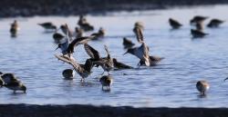 鳥「ハマシギとシロチドリーそれぞれの生きざま」・俳句読本