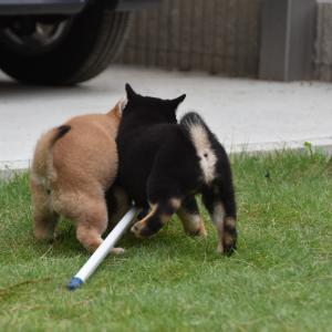 みゆの仔犬は生後55日になりました。