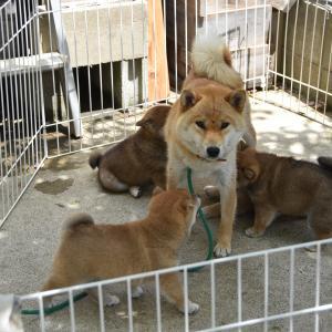 愛子の仔犬は生後41日となりました。