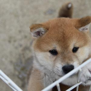 愛子の仔犬は生後47日と、血統書が届く、と愛子は病院へと、とうまの飼い主様が決定いたしました。