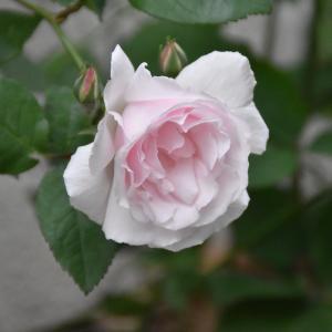 バラの新苗をポチ、と、愛子の仔犬は生後56日。