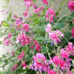 2度咲きの萩