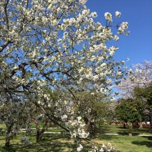 散る桜開く桜とリエゾンす