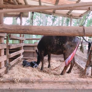 たまには牛の出産ネタ