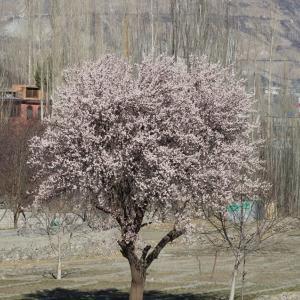 パキスタン北部の春