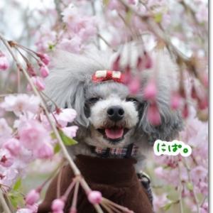 今年はイマイチな咲き具合だった枝垂れ桜