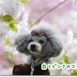 しつこく桜写真^^;