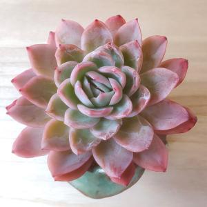 ピンクは葉っぱか花なのか?!