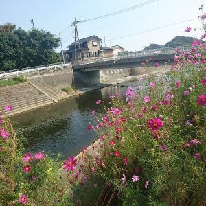 小出川の彼岸花