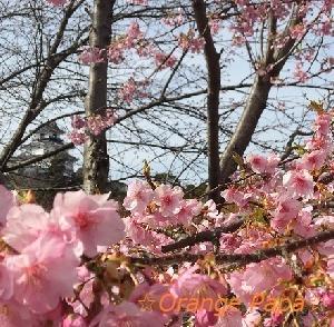 掛川城周辺の掛川桜♪