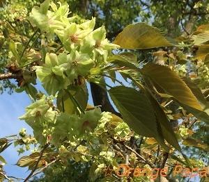 緑色の桜、御衣黄(ぎょいこう)♪