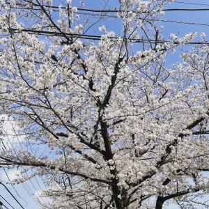 Sakura 2021