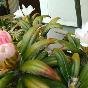 屋久島シャクナゲが花開きました