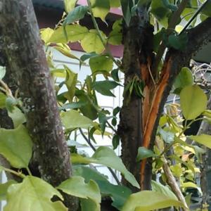 実がなりすぎて重みで梅の枝が折れる