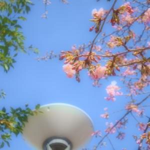 青い空と河津桜♪